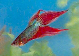 Spade Tail Betta, Blue and Red