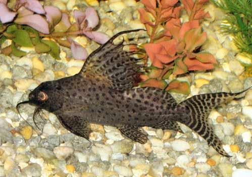 Featherfin Squeaker, Synodontis eupterus, Featherfin Catfish, Featherfin Synodontis, Lace Cat