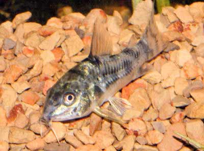 Peppered Corydoras, Corydoras paleatus, Peppered Cory, Peppered Catfish, Salt and Pepper Cory