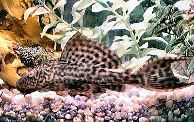 Pleco, Plecostomus, Hypostomus Plecostomus, Suckermouth Catfish