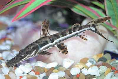 Porthole Shovelnose Catfish, Hemisorubim Platyrhynchos