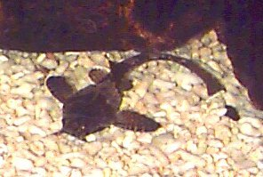 Banjo Catfish, Bunocephalus coracoideus, Guitarrita, Dysichthys coracoideus, Two Colored Banjo Catfish, Bicolour Banjo catfish
