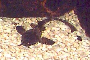 Banjo Catfish, Bunocephalus coracoideus, Guitarrita, Dysichthys coracoideus, Two Colored Banjo Catfish, Bicolour Banjo catfish