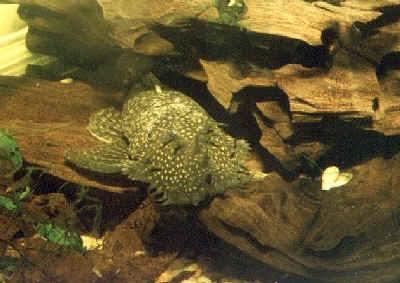 Bristlenose Catfish, Ancistrus cirrhosus, Bristlenose Pleco, Jumbie Teta