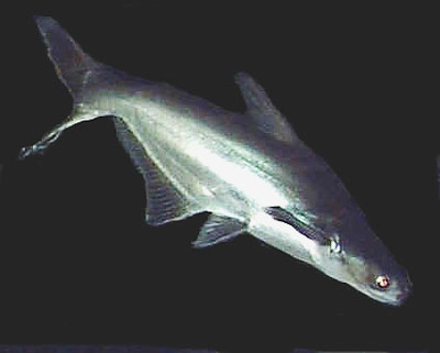 Iridescent Shark, Pangasianodon hypophthalmus, Pangasius Catfish, Striped Catfish