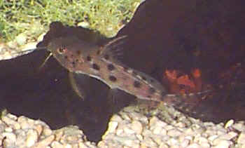 Ocellated Synodontis, Synodontis ocellifer, Large-spot Catfish