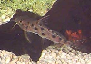 Ocellated Synodontis, Synodontis ocellifer