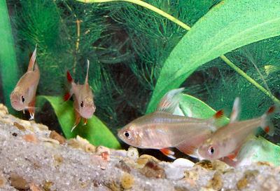 Ornate tetra hyphessobrycon bentosi white tip tetra Freshwater fish with red fins