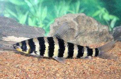 Banded leporinus leporinus fasciatus black banded for Tiger striped fish