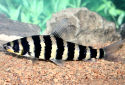 Animal-World info on Banded Leporinus