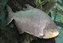Black Pacu Fact Sheet