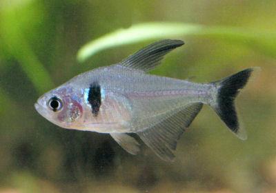 Black Phantom Tetra, Hyphessobrycon megalopterus, Phantom Tetra