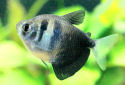 Black Tetra Fact Sheet