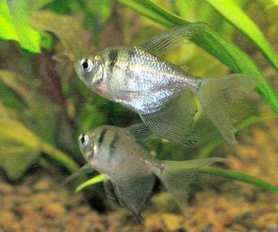 Long Finned Black Tetra, Gymnocorymbus ternetzi, Long Finned Black Widow Tetra, Blackskirt Hifin Tetra,