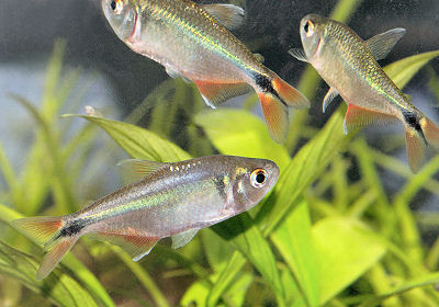 Fish should I choose? - Tropical Fish Keeping - Aquarium fish care ...