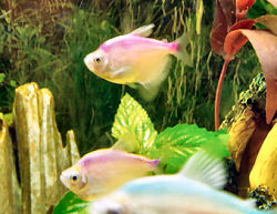 Artificially dyed Colored Skirt Tetras