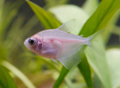Colored Skirt Tetra, Colored White Tetra, Gymnocorymbus ternetzi Variety