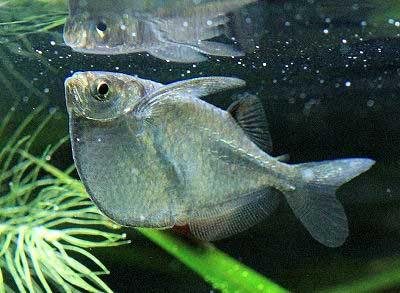Common Hatchetfish, Gasteropelecus sternicla, Silver Hatchetfish, River Hatchetfish