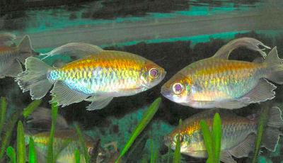 Congo Tetra, Phenacogrammus interruptus