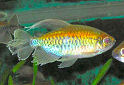 Animal-World info on Congo Tetra