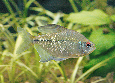 Diamond Tetra, Moenkhausia pittieri, Pittier's Tetra, Diamond Characin