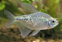 Diamond Tetra Fact Sheet