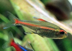 Picture of a Rummy-nose Tetra