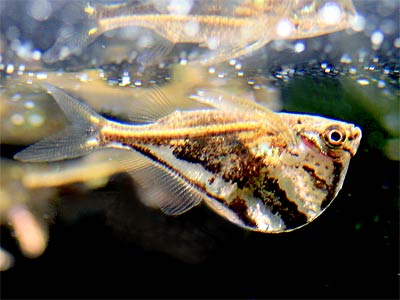 Marbled Hatchetfish, Carnegiella strigata, River Hatchetfish
