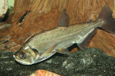 Payara, Hydrolycus scomberoides, Vampire Tetra, Vampire Characin, Sabre Toothed Tiger Fish