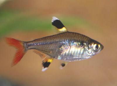 Pristella Tetra, Pristella maxillaris, X-Ray Fish