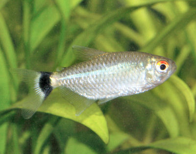 Red Eye Tetra, Moenkhausia sanctaefilomenae, Lamp Eye Tetra, Yellow-banded Moenkhausia
