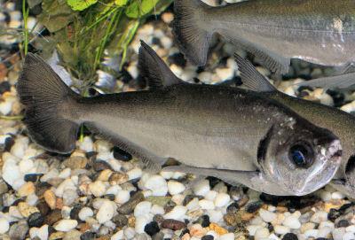 Sabertooth Characin, Hydrolycus armatus, Payara
