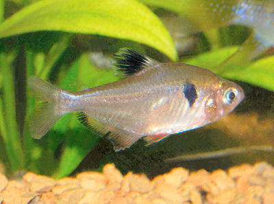 Serpae Tetra, Red Minor Tetra, Hyphessobrycon eques
