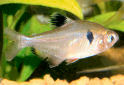 Serpae Tetra Fact Sheet