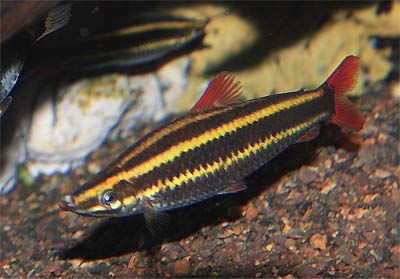 Striped Headstander, Anostomus anostomus