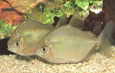 Silver Dollar Fish, Metynnis argenteus