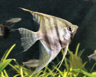 Altum Angelfish or Orinoco Angelfish