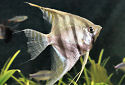 Animal-World info on Altum Angelfish