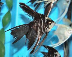 IKAN HIAS AIR TAWAR - Page 2 Angelfish%28Marble%29WFCiam__med_Cn0938