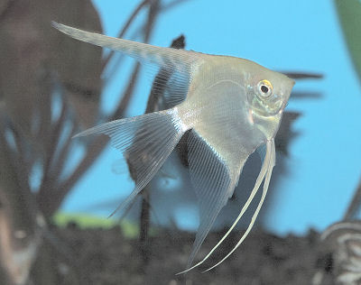 Silver Angelfish, Albino Angelfish, Pterophyllum scalare