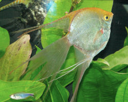 Gold Veiltail Angelfish