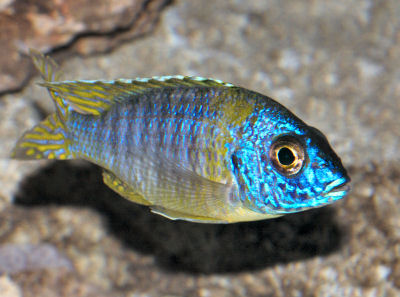 Aulonocara Blue Gold, Aulonocara korneliae, Orange Shoulder Peacock