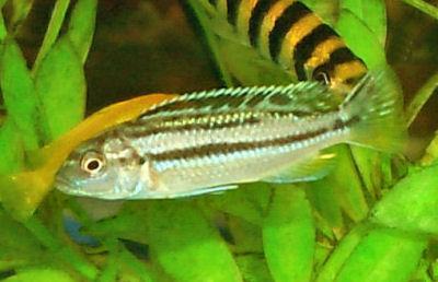 Auratus Cichlid, Melanochromis auratus, Golden Mbuna, Malawi Golden Cichlid