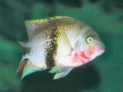 Blackbelt Cichlid, Paraneetroplus maculicauda, Red Black Vieja Cichlid