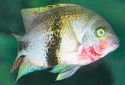 Click for more info on Black Belt Cichlid