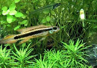 Black-Stripe Dwarf Cichlid, Taeniacara candidi, Torpedo Cichlid, Weise's Dwarf Cichlid