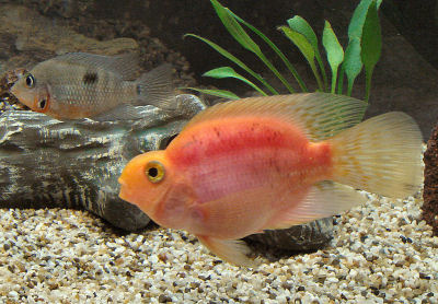 Blood Parrot Fish, Bloody Parrot, Blood Parrotfish, American Cichlid Hybrid