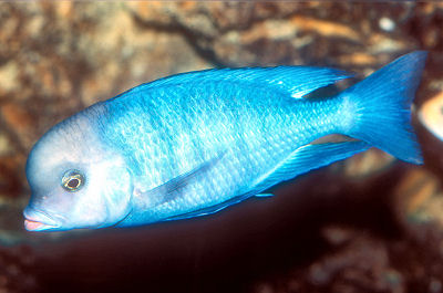 Bluemoorii on oscar cichlid african
