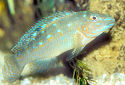 Click for more info on Blue Goby Cichlid