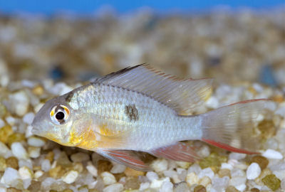 Bolivian Ram, Mikrogeophagus altispinosus, Bolivian Butterfly, Ruby Clown Cichlid